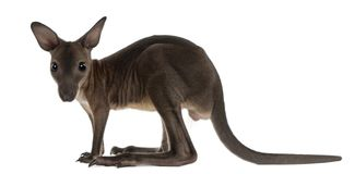 Wallaby, Macropus robustus, 3 months old. In front of white background royalty free stock image