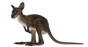 Wallaby, Macropus robustus, 3 months old. In front of white background stock photos