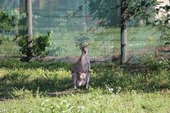 Wallaby matka z dzieckiem fotografia royalty free