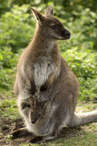 Wallaby met baby Royalty-vrije Stock Foto