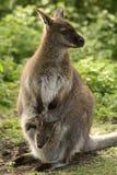 Wallaby met baby royalty-vrije stock foto