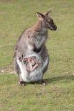 Wallaby met Joey Royalty-vrije Stock Afbeelding