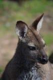 Wallaby met rode hals Stock Afbeeldingen
