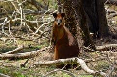 Wallaby met rode hals Stock Foto's