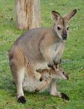 Wallaby met rode hals Royalty-vrije Stock Foto