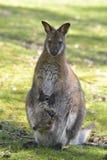 Wallaby met rode hals en zijn joey Royalty-vrije Stock Fotografie