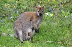Wallaby met rode hals op gras Stock Foto's