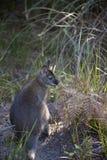 Wallaby miejscowy Australia zdjęcie stock