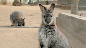 Wallaby mignon regardant fixement avec le visage confus Photographie stock libre de droits