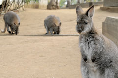 Wallaby mignon regardant fixement avec le visage confus Photographie stock