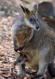 Wallaby mit Joey in der Tasche Lizenzfreie Stockfotografie