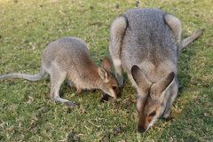 Wallaby Mother and  Baby Royalty Free Stock Images