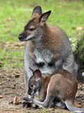 Wallaby Stock Photos