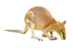 wallaby na białym tle fotografia royalty free