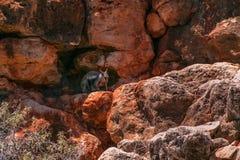 Wallaby na czerwonych skałach, Exmouth Australia fotografia stock