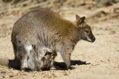 Wallaby necked vermelho Imagem de Stock