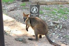 Wallaby no jardim zoológico Fotografia de Stock Royalty Free