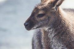 Wallaby obwieszenie wokoło parka w rocznika położeniu obraz stock