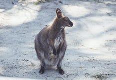 Wallaby obwieszenie wokoło parka w rocznika położeniu obrazy stock