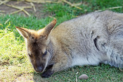 Wallaby op een gebied Stock Fotografie