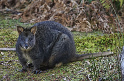 Wallaby  orTasmanian Pademelon Stock Photos