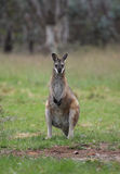 Wallaby in outback Royalty Free Stock Photography