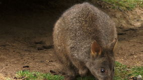 Wallaby outside its den. Small Kangaroo wallaby close to a den stock footage