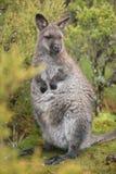 Wallaby outside ja zdjęcie royalty free