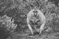 Wallaby outside ja fotografia stock
