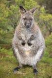 Wallaby outside ja obrazy stock