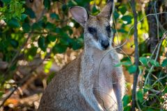 Wallaby patrzeje kamerę w przylądka Hillsborough parku narodowym, Queensland, Australia zdjęcie stock