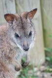 Wallaby Royalty Free Stock Photos