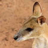 Wallaby-Portrait Stockfotos