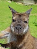 Wallaby portrait. A wallaby posing for the camera Stock Images