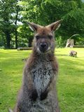 Wallaby portrait Royalty Free Stock Photo