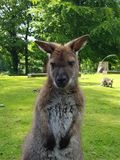 Wallaby portrait Stock Image