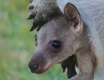 Wallaby in Pouch Stock Image