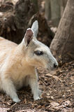 Wallaby Profile Royalty Free Stock Photo