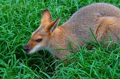 Wallaby-  Profile of a Whiptail  Wallaby Royalty Free Stock Image