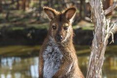 Wallaby relaksować obrazy stock