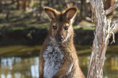Wallaby relaxing Stock Images