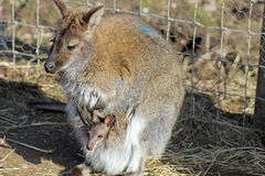 Wallaby renversant Photo libre de droits