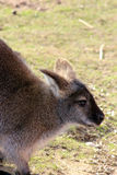 Wallaby renversant Photos stock