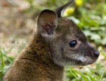 wallaby rufus rafferty Стоковая Фотография