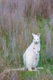 Wallaby ` s Bennett альбиноса в луге на острове Тасмании Bruny Стоковое Изображение