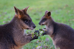 Wallaby`s eating. 2 wallaby`s enjoying a meal Stock Photo