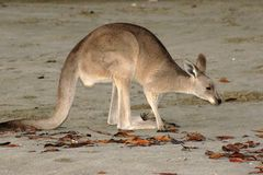 Wallaby on Sand Stock Photos