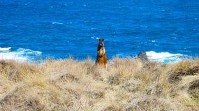 Wallaby sauvage par la mer dans l'Australie photographie stock libre de droits