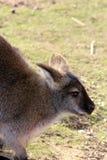 Wallaby sbalorditivo Fotografie Stock