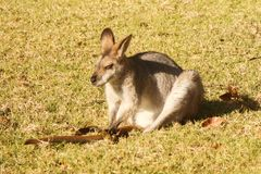 Wallaby Scratching his Tail Stock Photo